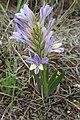 Babiana mucronata subsp. mucronata (Iridaceae) (37708049841).jpg