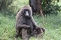 Baboon (7513541846).jpg