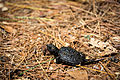 Baby turtle in pine needles.jpg