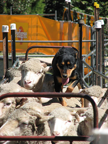 Dogs and sheep were among the first animals to be domesticated. Backing sheep at sheepdog competition.jpg