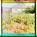 Badrazhany, Eggplants.jpg
