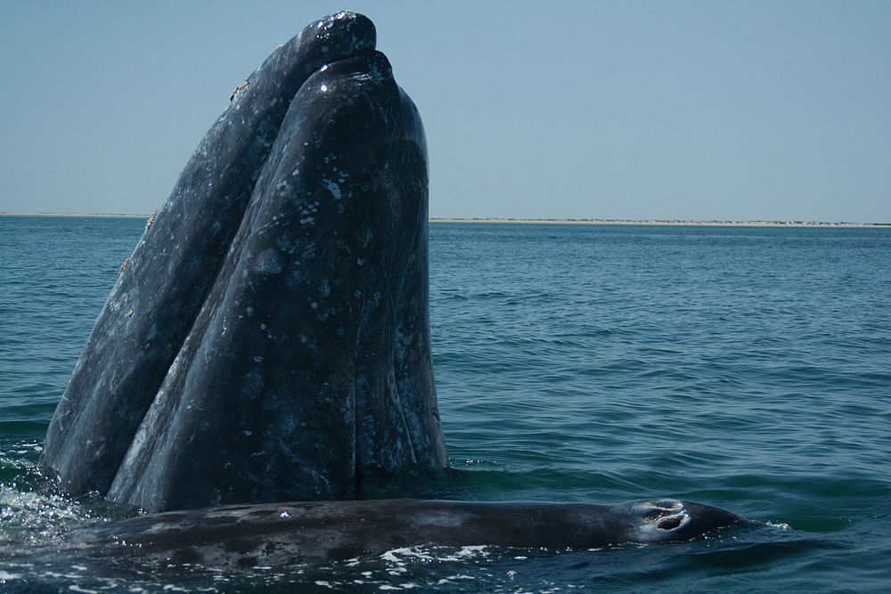 The average litter size of a Gray whale is 1