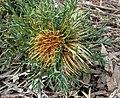Banksia fraseri.jpg