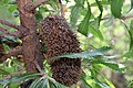 Banksia serrata 5zz.jpg