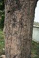 Bark I IMG 2822.jpg