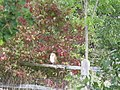 Barn Owl near Gemsbrook - geograph.org.uk - 1492461.jpg