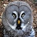 Bartkauz - Great Grey Owl (Strix nebulosa) - Weltvogelpark Walsrode 2012-004-cropped.jpg