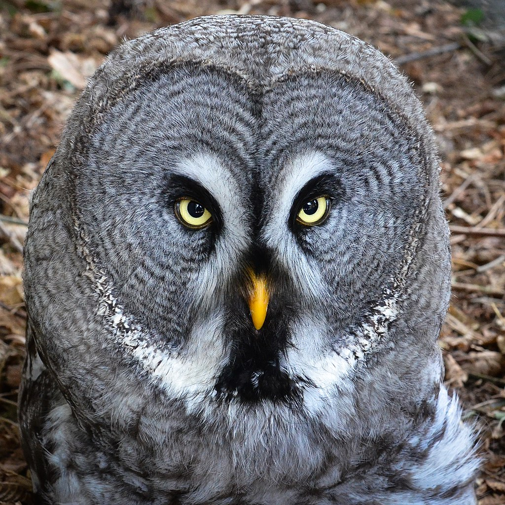File:Bartkauz - Great Grey Owl (Strix nebulosa ...