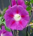Batatilla (Ipomoea purpurea) - Flickr - Alejandro Bayer (2).jpg