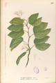 Bauhinia acuminata Blanco1.111-original.png