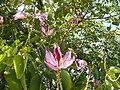 Bauhinia variegata P1130773.jpg