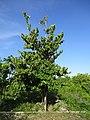 Bayur (Pterospermum diversifolium) tree.jpg