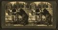 Bear feeding, Yellowstone National Park, Wyo, by Keystone View Company.png