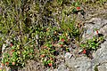 Bearberry (Arctostaphylos uva-ursi) - Oslo, Norway 2020-08-04.jpg