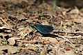 Beautiful Demoiselle - Calopteryx virgo (42310227902).jpg