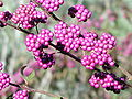 Beautyberry3.jpg