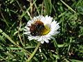 Bee on flower 2.JPG
