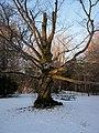 Beech Tree, Elora - panoramio.jpg