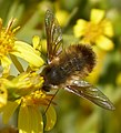 Beefly. Bombyliidae (32255094863).jpg