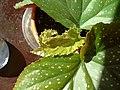Begonia - by tracy.jpg