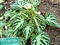 Begonia imperialis.JPG