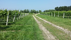 BellviewWineryVineyardBlock.jpg