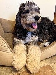 Bernedoodle Dog Puppies Ohio