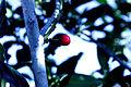 Berry (3218623329).jpg