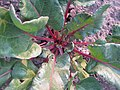 Beta vulgaris var conditiva Буряк столовий сорт Бордо харківський у фазу пучкової стиглості.jpg