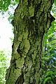 Betula grossa bark.jpg