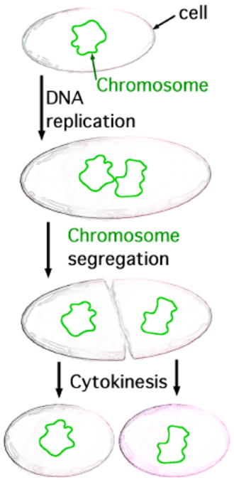 Spirochaeta americana - Diagram of bacterial binary fission.