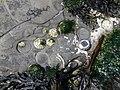 Bioerosion patelles IrlandeNord.jpg