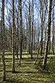 Birch forest Gullmarsskogen 9.jpg