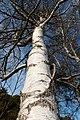 Birch trunk in Norrkila 2.jpg