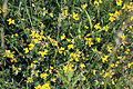 Birdsfoot Trefoil with bee in grassland at Woodland Trust wood Theydon Bois Essex England.JPG