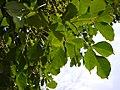 Bischofia javanica (8881543358).jpg
