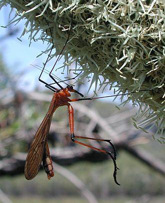 Mecoptera - Hangingflies have distinct mating behaviour.