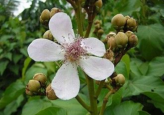 Bixaceae - Bixa orellana (Achiote)