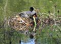 Blässhuhn im Nest auf dem Wasser.2H1A6569WI.jpg