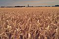 Blé tendre (Picardie)Cl J Weber10 (23456351413).jpg