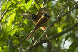 Black-and-Cinnamon Fantail - Mindanao - Philippines H8O0954 (19433913741).jpg