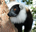 Black-and-white ruffed lemur.jpg