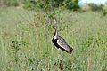 Black-bellied Bustard (Lissotis melanogaster) (17065984720).jpg