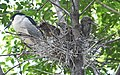 Black-crowned Night-Heron young and parent (48432083776).jpg