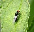 Black-horned Gem. Microchrysa polita (43353658872).jpg