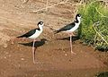Black-necked Stilt (Himantopus mexicanus) (2586869989).jpg