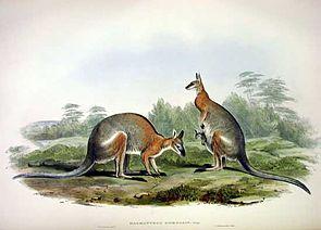Rückenstreifenwallaby, Zeichnung von John Gould