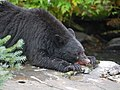 Black Bear - Ursus americanus, Tongass National Forest, Alaska (26851893629).jpg