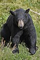 Black Bear MG 8577 copy.jpg