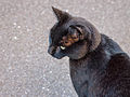 Black cat (8060021059).jpg